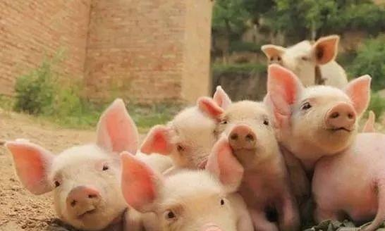 """猪人:1月中上旬,老天赏你""""三个宝"""""""