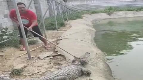 男子想抓鳄鱼聪明的鳄鱼见招拆招机智躲过