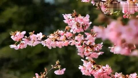 今天去村里一看,桃花已经开了,让我想起了三生三世十里桃花