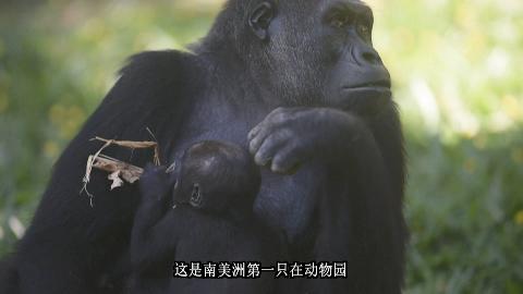 巴西动物园成功繁殖濒危西非低地大猩猩宝宝