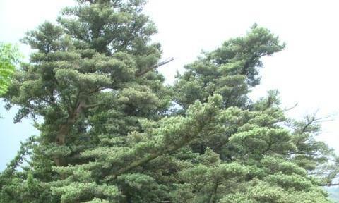 老树通灵——探访江西九江的罗汉松王