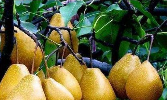 凉爽秋季不容错过的两种水果,脆甜个大水分足,价格还便宜