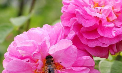 """喜欢玫瑰,首选这款""""精品玫瑰""""大马士革,花型丰满,富贵华美"""