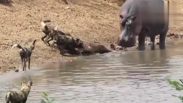 河马在水中咬死羚羊,下一秒做法让人没想到,镜头记录全过程