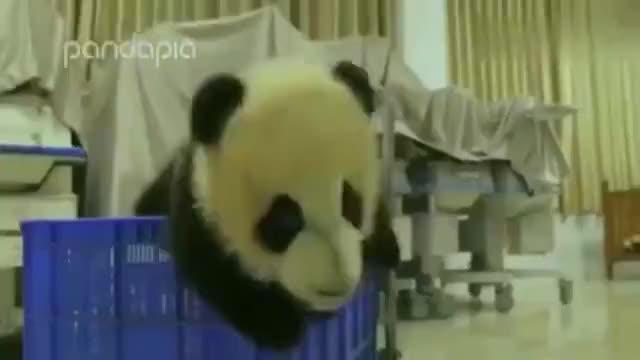 熊猫看看咱国宝大熊猫这待遇还有专属司机真是让人羡慕嫉妒