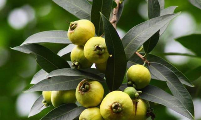 水蒲桃果是天然的解热剂,带有独特的香味,曾是农村娃的儿时零食