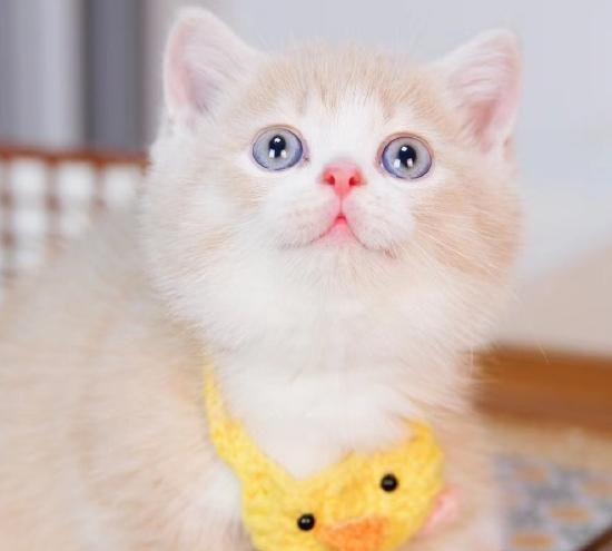 「百家号鼠你红」粘人的腊肠猫,开朗的性格,颇受人们的喜爱