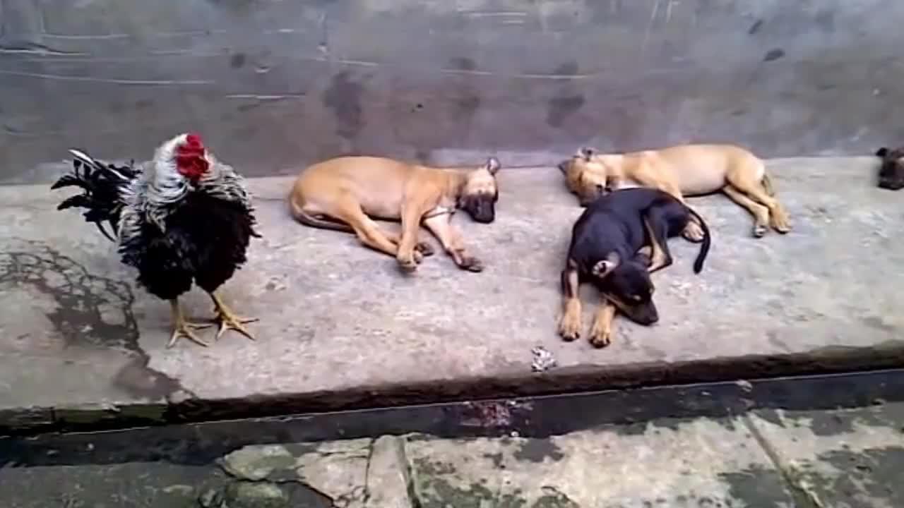 公鸡发现狗狗大白天睡觉顿时生气了 接下来的举动让狗狗崩溃
