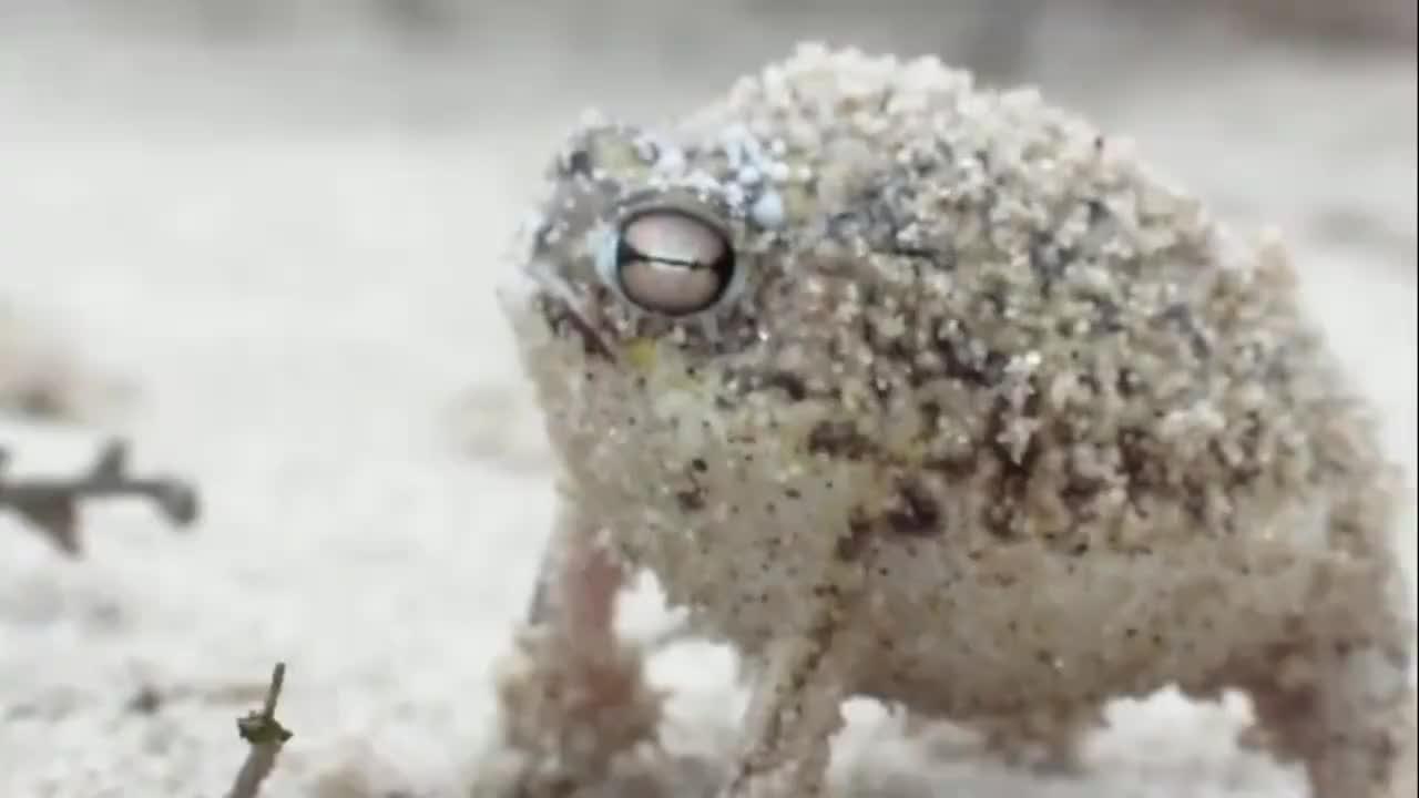 超稀有动物沙漠雨蛙的蜜汁叫声感受一下