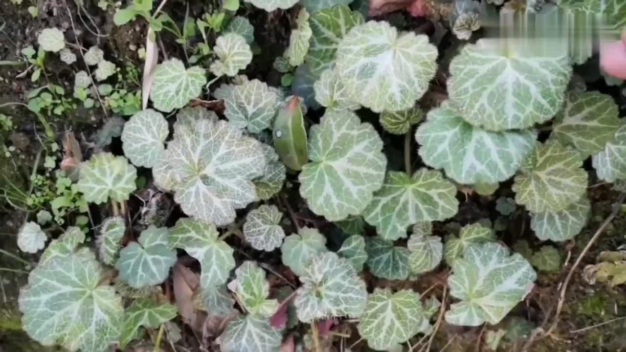 江西吉安妹子在山里遇见一种很奇特又漂亮的植物挖回去做盆栽