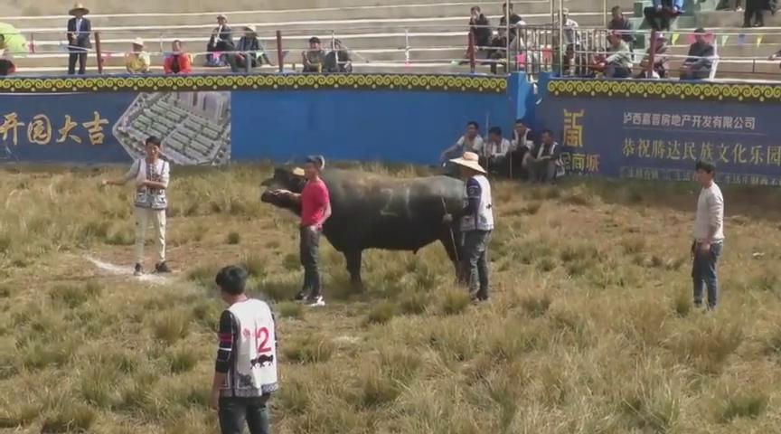 小牛21号,脱手勇猛直碰,吓得对手都要做好准备应对了