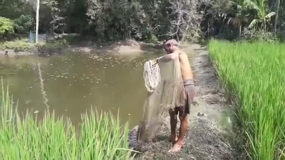 稻田边捕鱼水肥鱼更肥一网上来全是野生稻花鱼