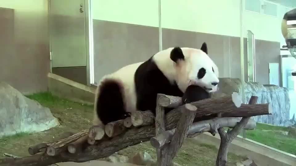 熊猫桃浜花式挠痒根本停不下来奶爸奶妈也不来帮忙挠挠