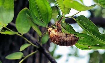 处暑时节,捡蝉蜕,带你见识农村一种新奇的中药材