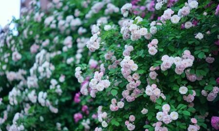 只见过1种颜色的蔷薇花?太可惜了,这些颜色都很好看