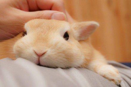 侏儒兔宝宝卖萌,嘟嘴的样子太可爱.