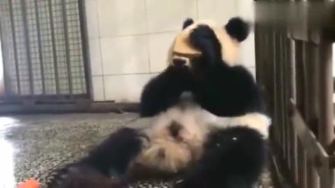 熊猫:趁麻麻还没回来,赶快再多吃两口,太香了