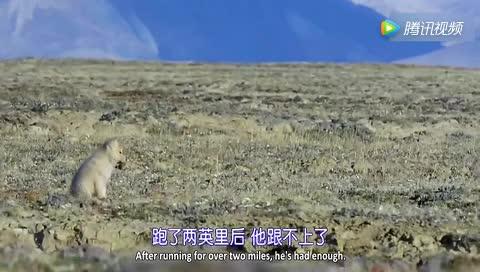 实拍-北极狼王寻找走失的北极狼崽_太感人