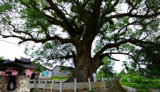 """中国唯一的""""树抱佛""""福建一棵古樟树内,藏着一尊比小孩高的佛像"""