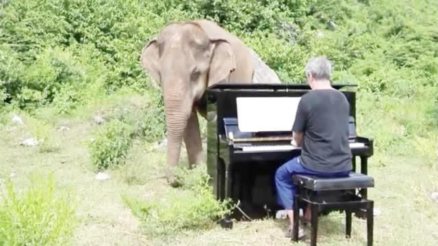 钢琴家退休家后,唯一的乐趣,就是每天给大象弹琴听!