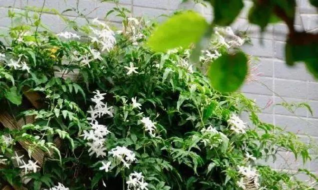 花朵美过丁香,花香浓过茉莉,花量超大,家里养一盆,阳台变花海
