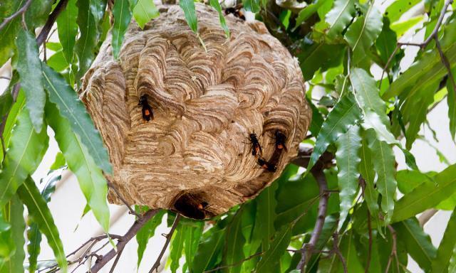 独自筑巢的胡蜂王,它们是如何防蚂蚁的?胡蜂这招实在高明