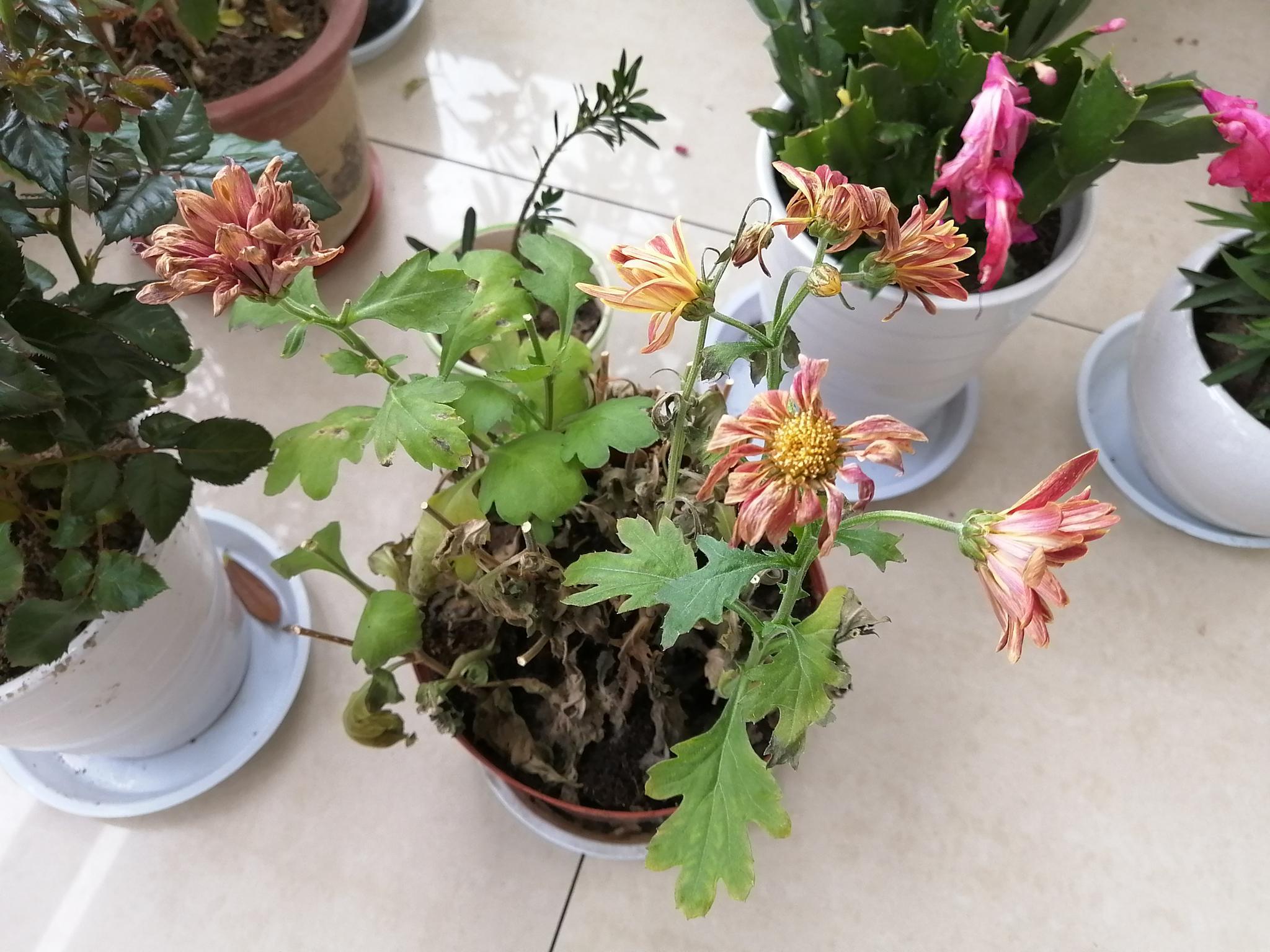 除夕来阳台欣赏荷兰菊