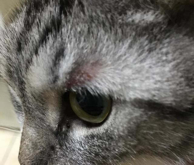 猫咪耳朵和眼睛上面有块状掉毛是怎么回事?