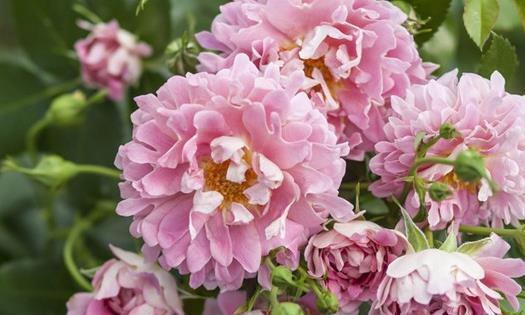 """喜欢菊花,不如养""""玫瑰精品""""安妮公主,四季开花,花色梦幻"""