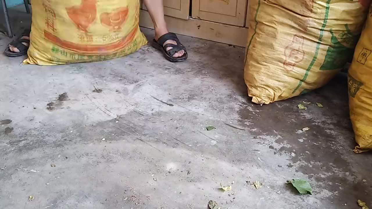 丹东大榛子丰收了,很多朋友问这东西怎么吃,拍个视频告诉你