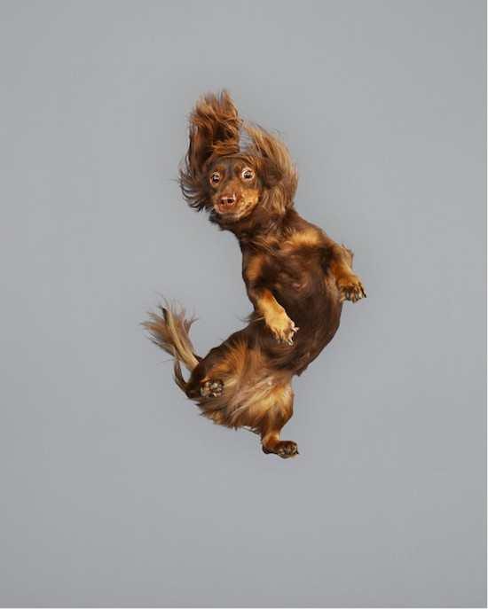 摄影师拍下狗狗跳起的瞬间,然而哈士奇的表情依然经典