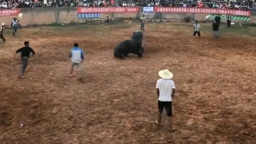 又一头野牛,败在牛王擎天柱的铁头功下,比赛太惨烈了!