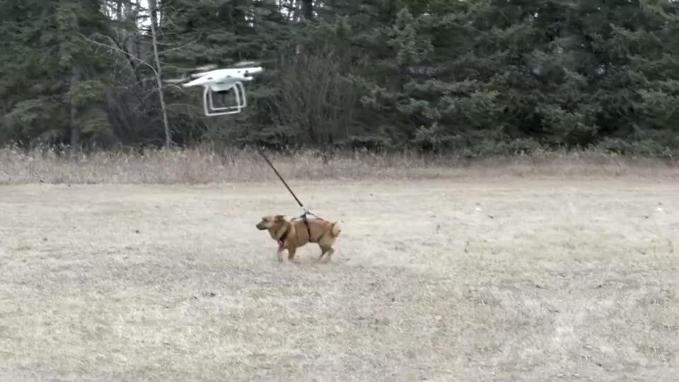 老外试图用无人机遛狗不料意外发生镜头记录惊险瞬间