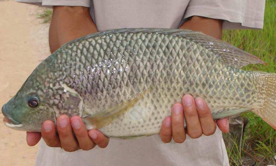 这鱼因繁殖能力强被中国引入,结果因为国人不愿意吃,泛滥成灾!