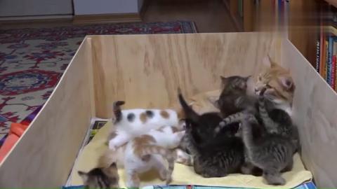 同时给14只小猫咪喂奶喝,猫妈妈对生活充满了绝望