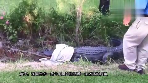 一条鳄鱼故意拦住去路,司机是硬着头皮上,还是掉头走