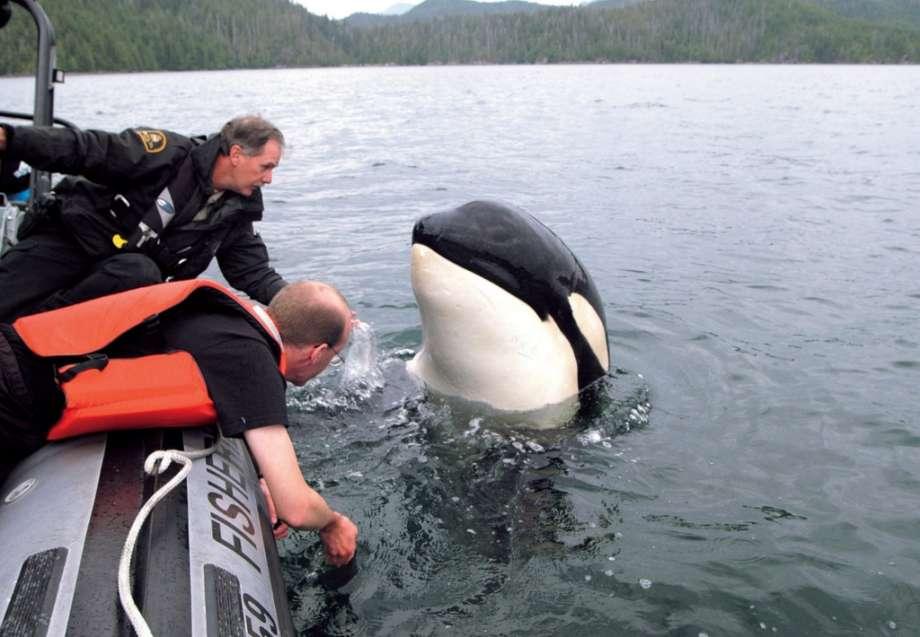 南方黑虎鲸不到百头濒临灭绝,身为人类我们该做什么?