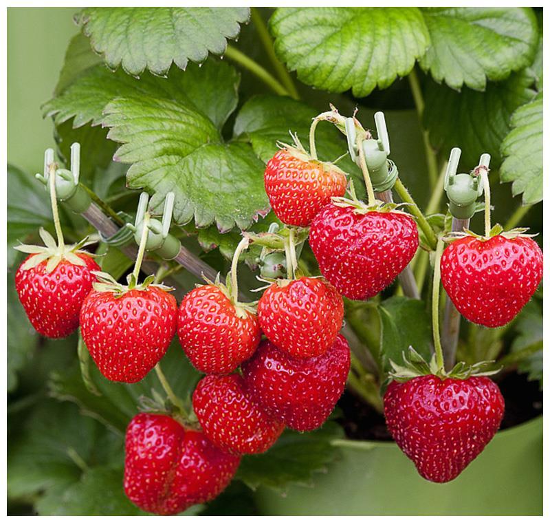 阳台别在浪费地方,种上些果树,沾土就活,天天都吃鲜果