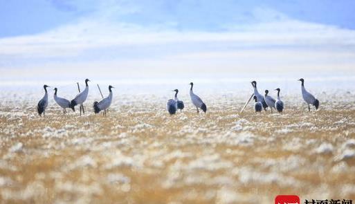 """开启""""春运""""模式 若尔盖湿地黑颈鹤开始南飞越冬"""