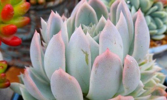 艳丽的多肉植物紫罗兰女王,在高海拔的地区也能发现到它