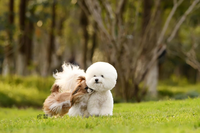 可爱的西施宝宝带着一朵棉花糖
