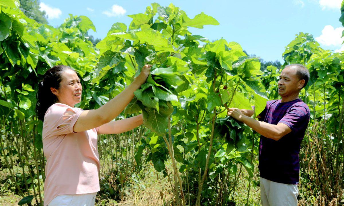 石泉夫妻养蚕中状元 年收入达18万