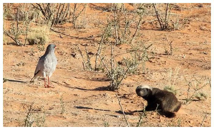 平头哥挖土寻找眼镜蛇,中毒后奋力杀死毒蛇,土狼和苍鹰观战