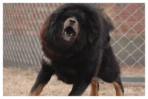 养十几年藏獒突然发狂,主人吓得不知所措,民警当场开枪击毙恶犬