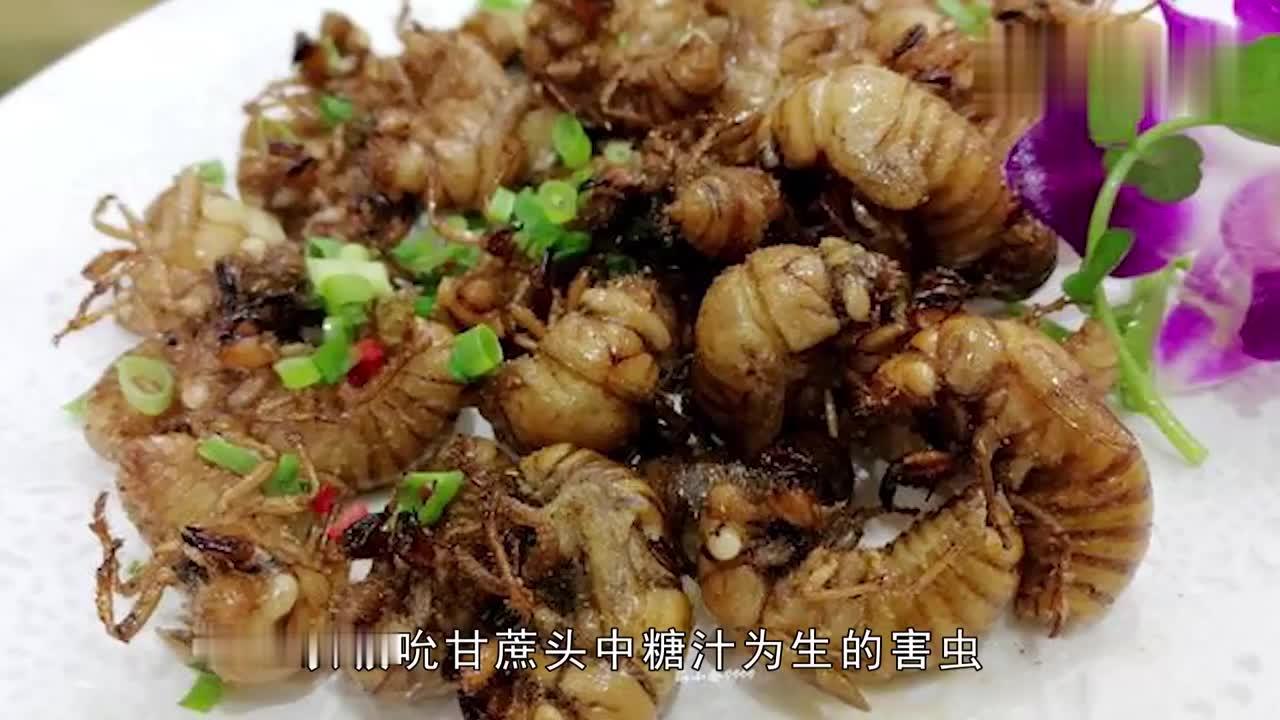 甘蔗龟漳州最金贵的害虫酥脆可口是漳州70年代人回忆