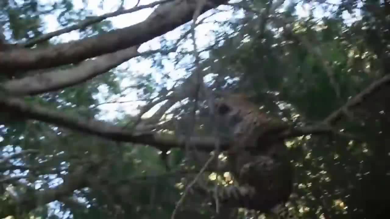 花豹树上捕食狒狒,不料被狒狒反击打下树