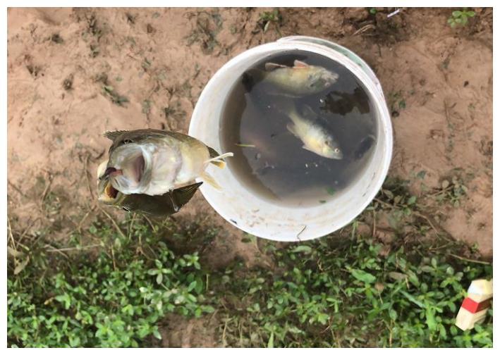 众多河道被太阳鱼入侵,一口气钓了几十条,可能泛滥?