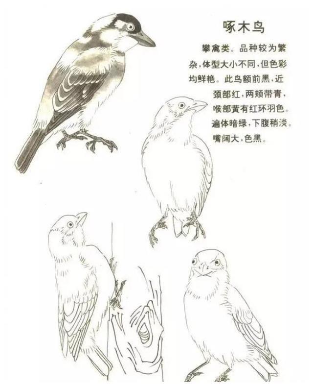 张继馨解析《鸟类画谱》水墨画