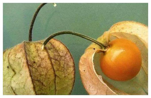 """房屋边上一长相似""""灯笼""""的野草,浆果口感味道好,还能治肝炎"""