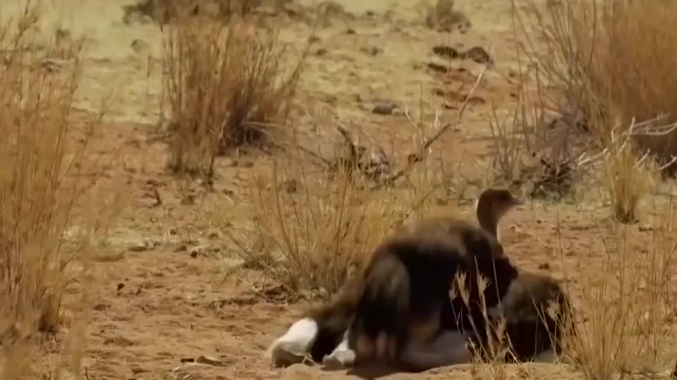 我见过最凶猛的鸟一双脚能把狮子踢死高3米却吃素